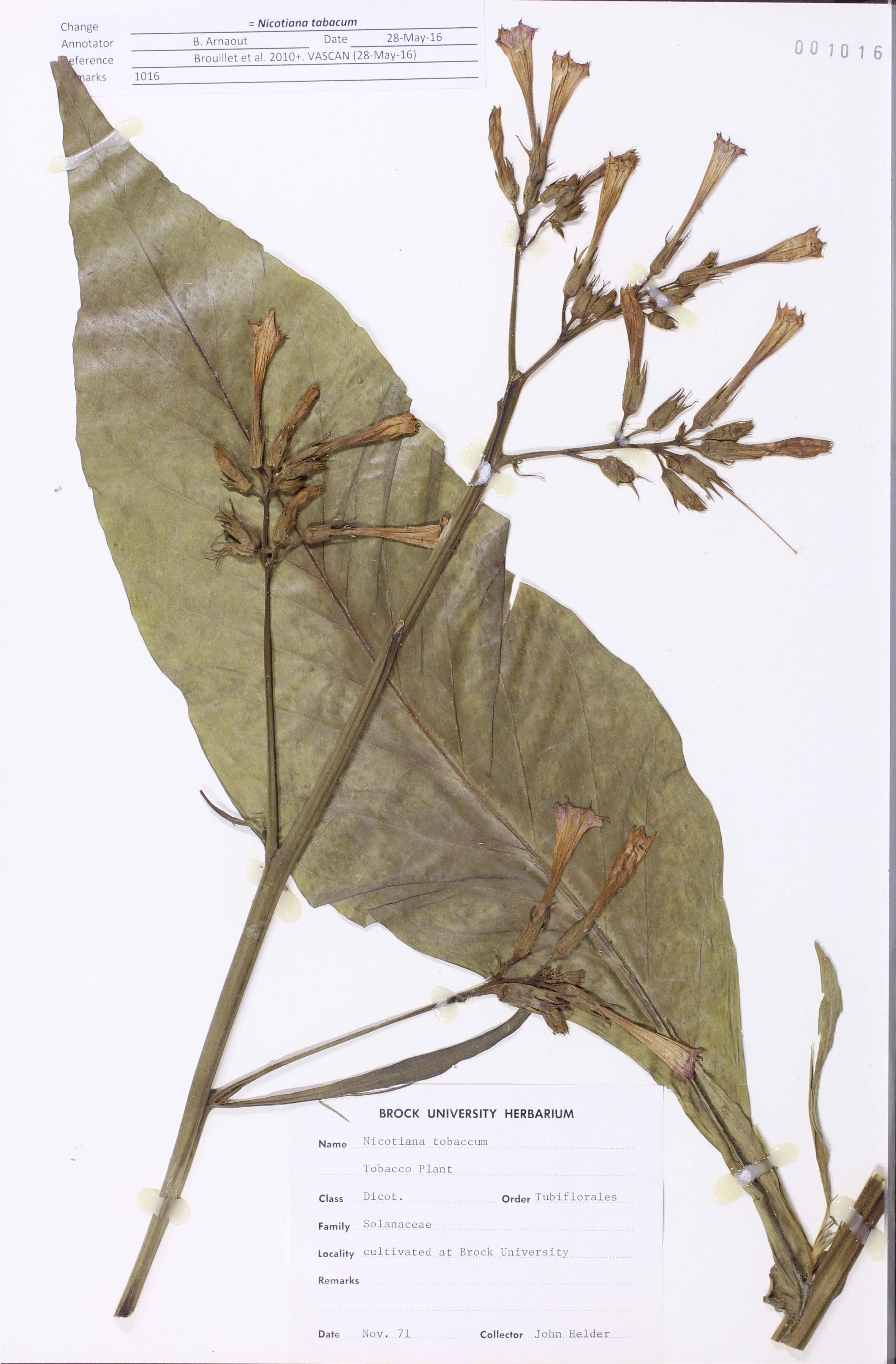 Nicotiana tabacum Linnaeus