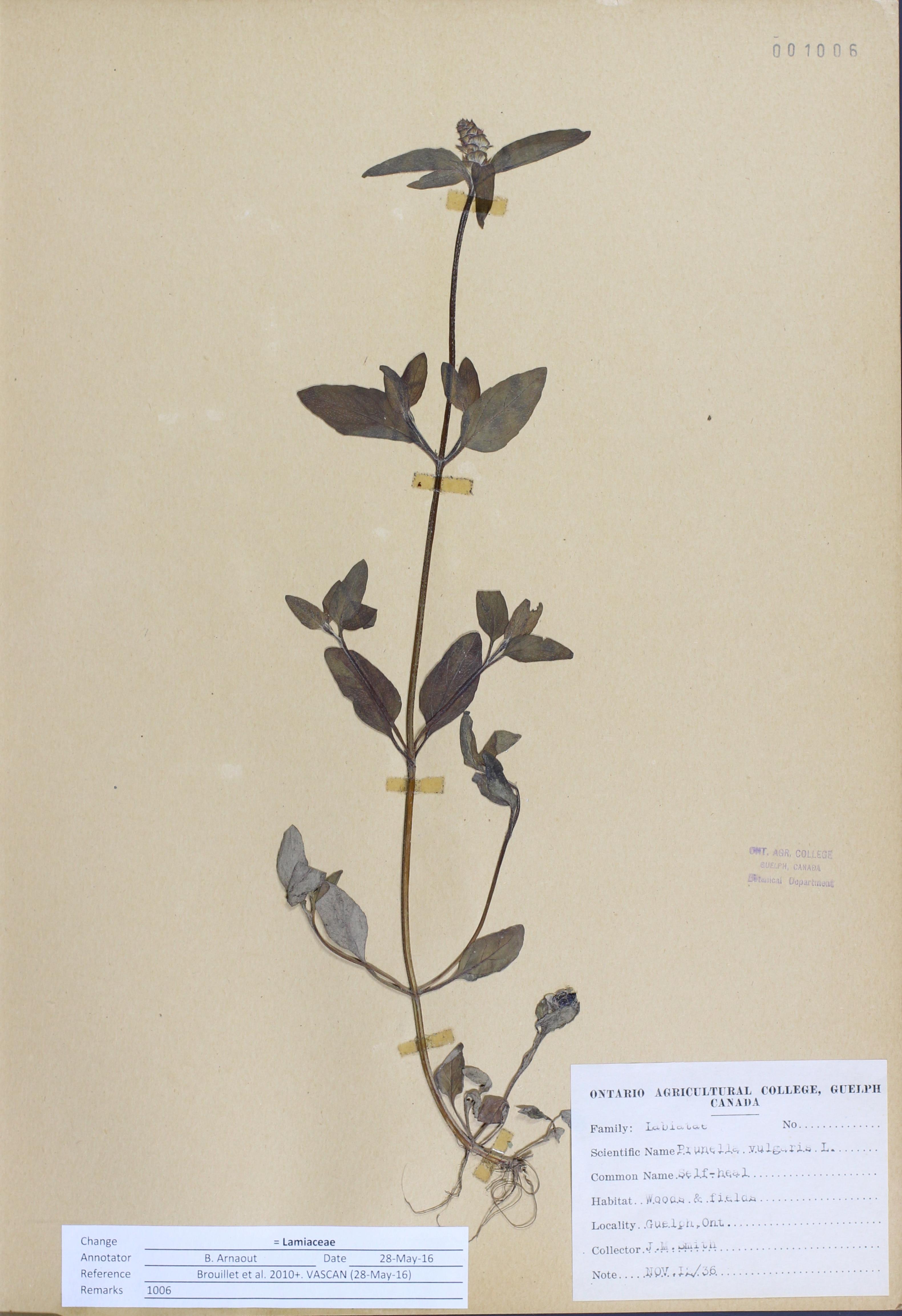 Prunella vulgaris Linnaeus